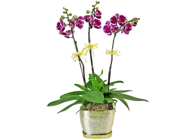 Orchids - Beauty lady orchid 3 stems - L76606655 Photo