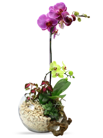 Orchids - Mother's care - L33161 Photo