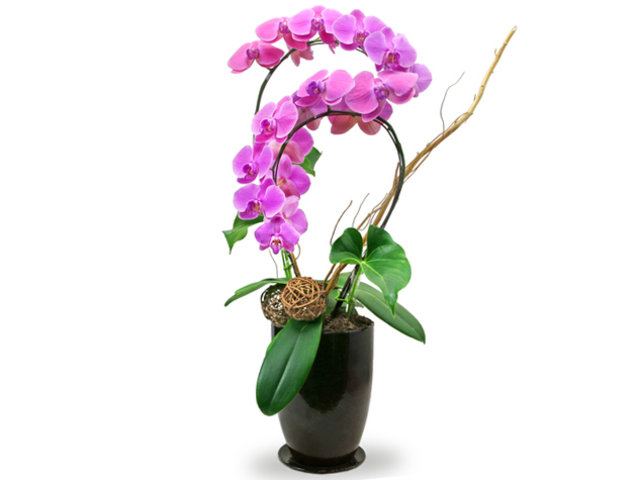 Orchids - Orchids Vase Florist Gift  PH22 - L76606999 Photo