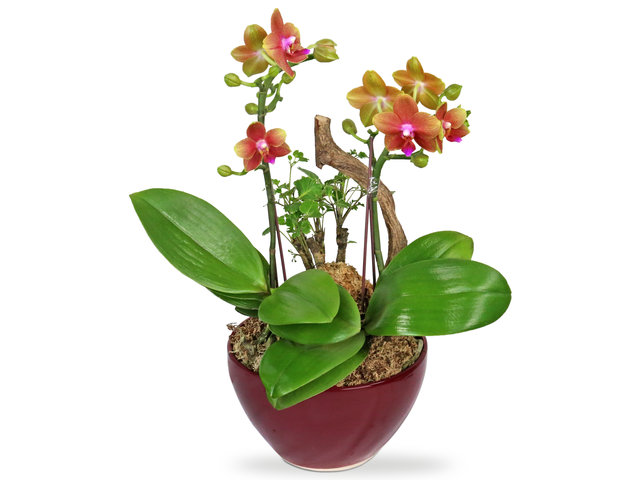 Orchids - Orchids decor plant  B09 - L4445 Photo