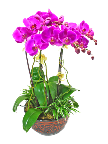 Orchids - Red Phalaenopsis Orchids x 5 - L39401 Photo
