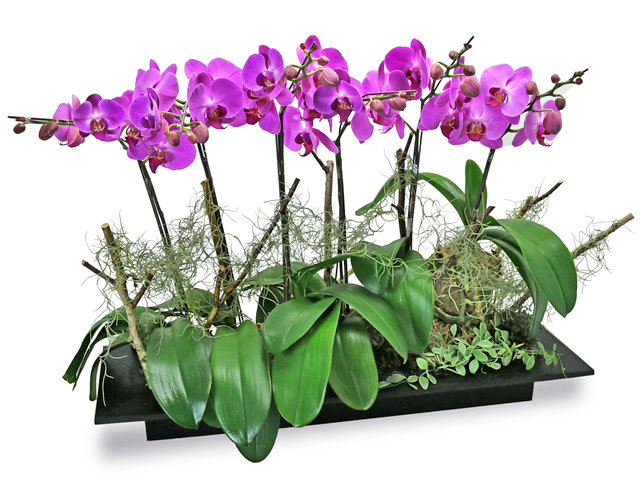 Orchids - ochrids decor plant  PH30 - L76608298 Photo