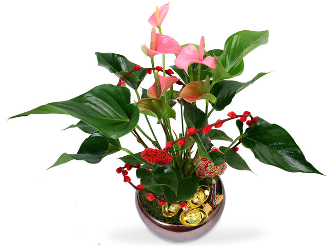 Flower Shop Plants - Pink anthurium Plant MQ1 - CF20125A3 Photo