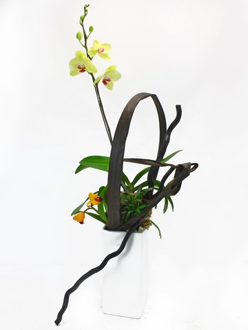 Orchids - Dancing  - L33131 Photo