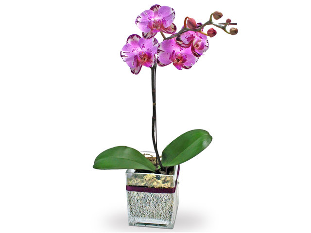 Orchids - Orchids Plant Florist Decor x1 P - L181674 Photo