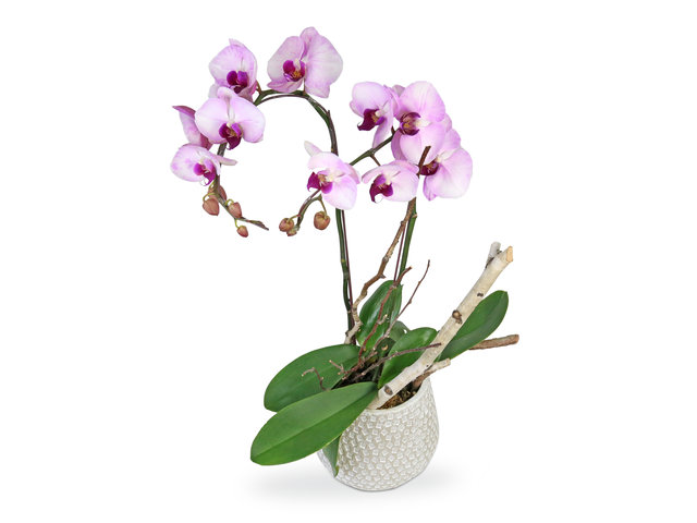 Orchids - Orchids decor plant  D16 - L8997 Photo