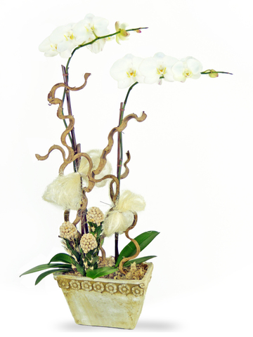 Orchids - Pure Orchid x2 (B) - P2317 Photo