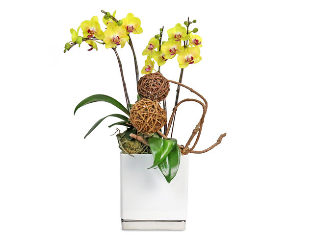 Orchids - ochrids decor plant  D12 - L8936 Photo