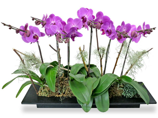 Orchids - ochrids decor plant  PH30 - L76608027 Photo