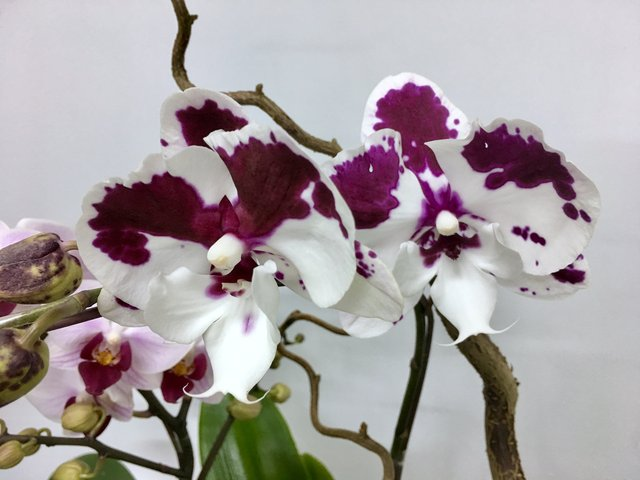 Weekly Import Flower - Limited Edition -Taiwanese 2-colour Orchid LEO03 - 1D0421A1 Photo