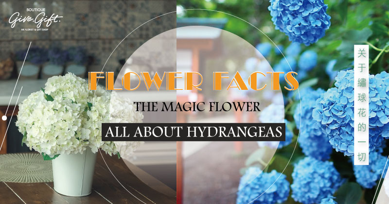 Flower Facts: The Magic Flower – All About Hydrangeas