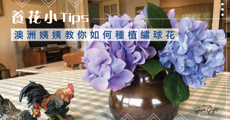 Tips of How to plant and grow hydrangeas in Australia
